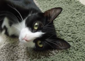 Adopt London On Short Hair Black White Cat Cat Adoption