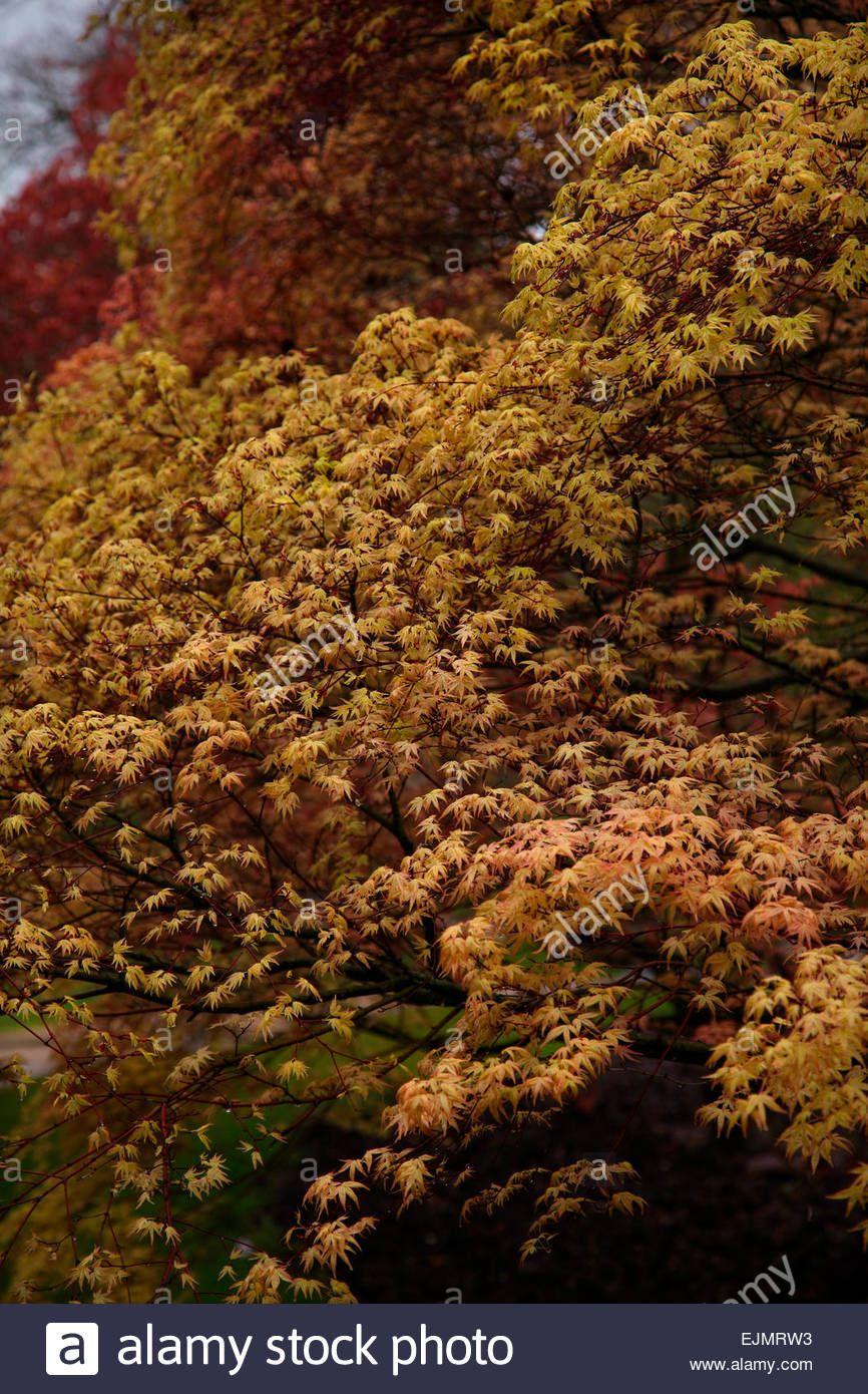 Acer Palmatum Beni Tsukasa With Newly Emerged Foliage In Late