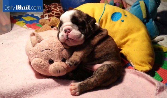 English Bulldog Begins Snoring In Cute New Video English Bulldog