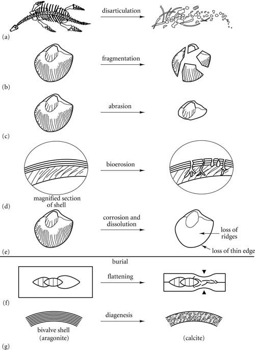 Introduction To Paleobiology And The Fossil Record Fossil Records Recent Discoveries