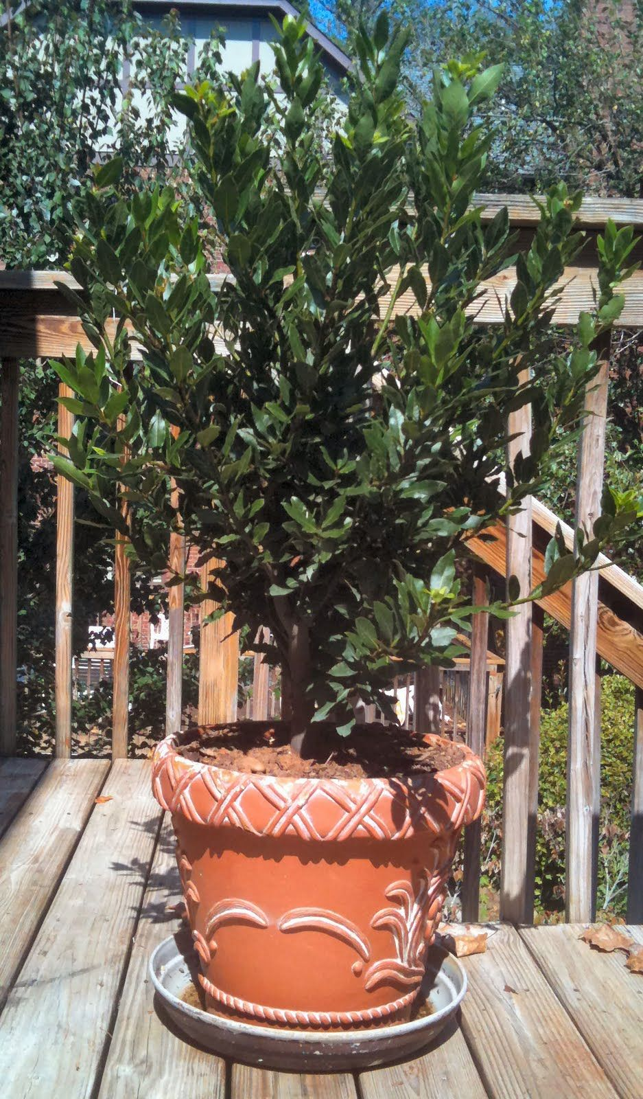 Ordinaire Great Patio Tree, Fragrant Leaves To Cook With! Easily Pruned Into Topiary.