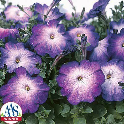 Petunia Merlin Blue Morn F1 Petunias Flower Seeds Purple Garden