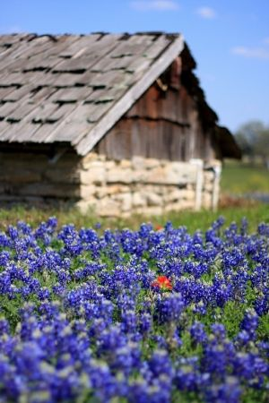 Wood shingles for the roof with field of blue flowers. by robyn