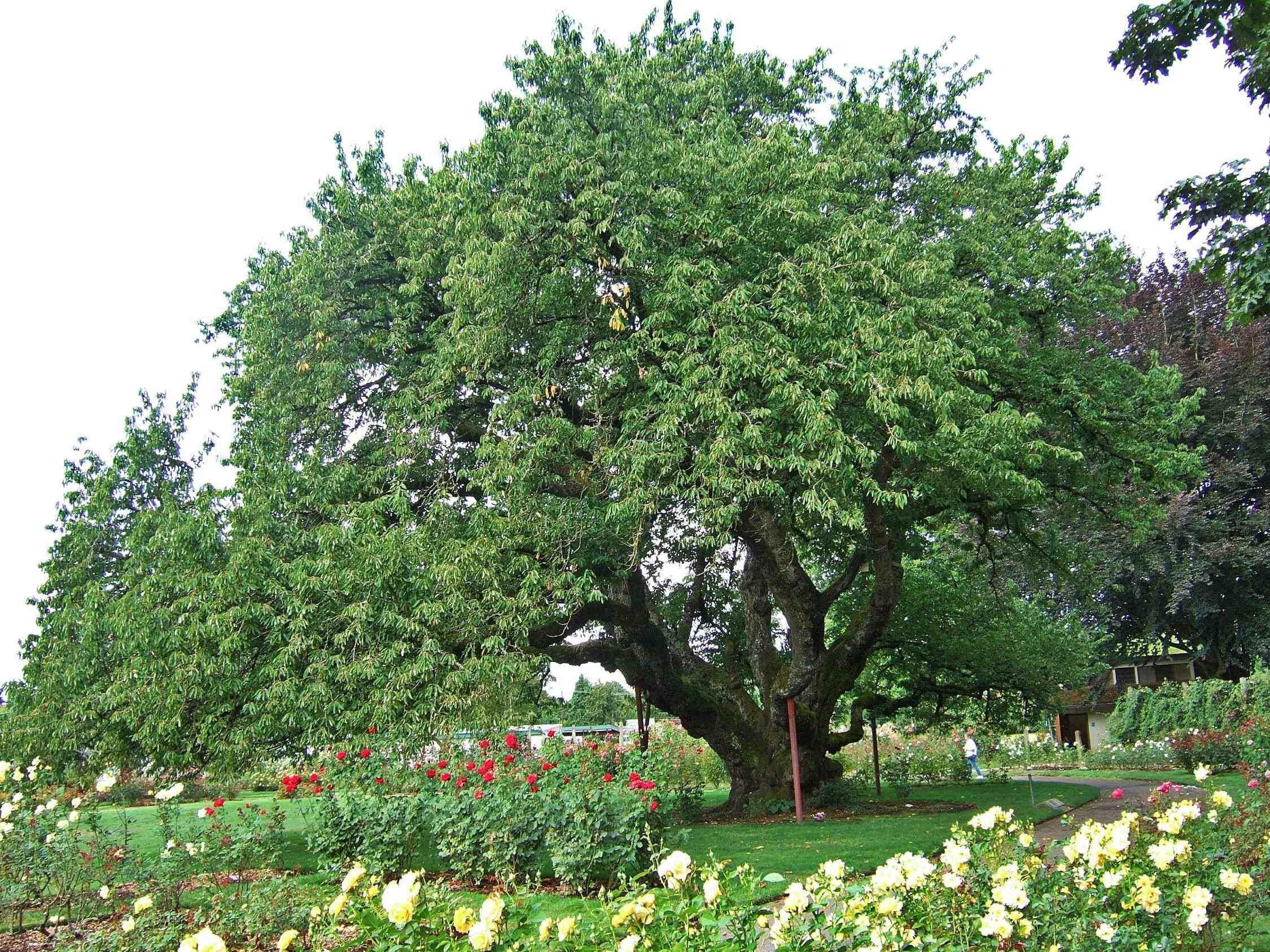 Wild Black Cherry Tree Black Cherry Tree Plants Cherry Tree