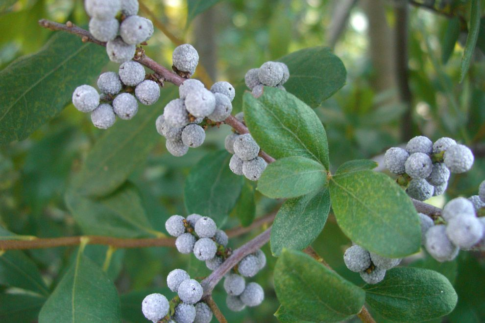 Bayberry shrub attracts bluebirds for the berries