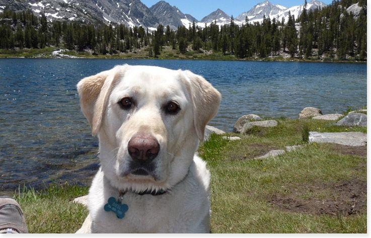 Southern California Labrador Retriever Rescue Adopt A Dog