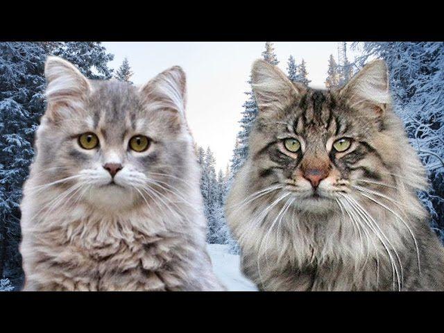 Siberian Cat Vs Norwegian Forest Cat 101