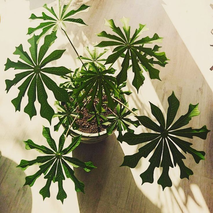 "My Jungle on Instagram: ""��� • • •�(@stekdestadstuinwinkel)• #manihotgrahamii #plantpals #plantcollective #myjungle #happyasaplantinmuck #instaplant #junglevibes…"""