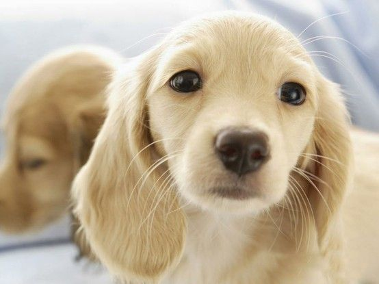 English Cream Dachshund.....I need one of these asap!