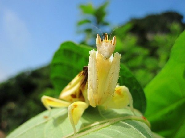 Praying Mantis Mimics Flower To Trick Prey Orchid Mantis Orchids Rare Flowers
