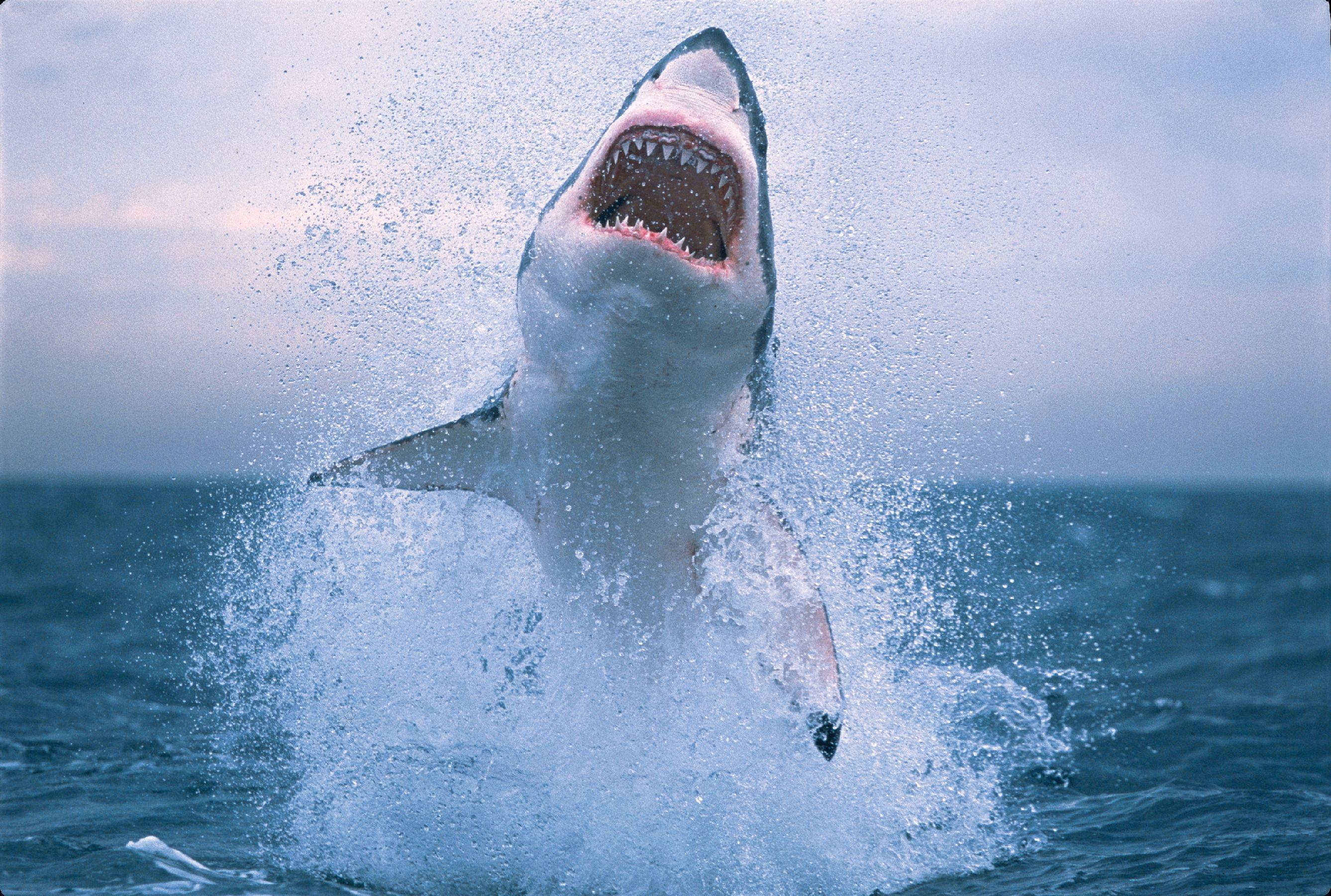Whale shark - Wikipedia
