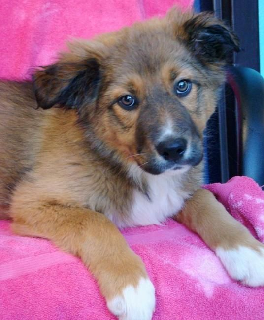 Australian Shepherd Border Collie Mix So Cute I Want Him Cool