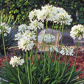 Weisse Winterharte Schmucklilie Manufactum In 2020 Schmucklilie Lilien Pflanzen Lilien Winterhart