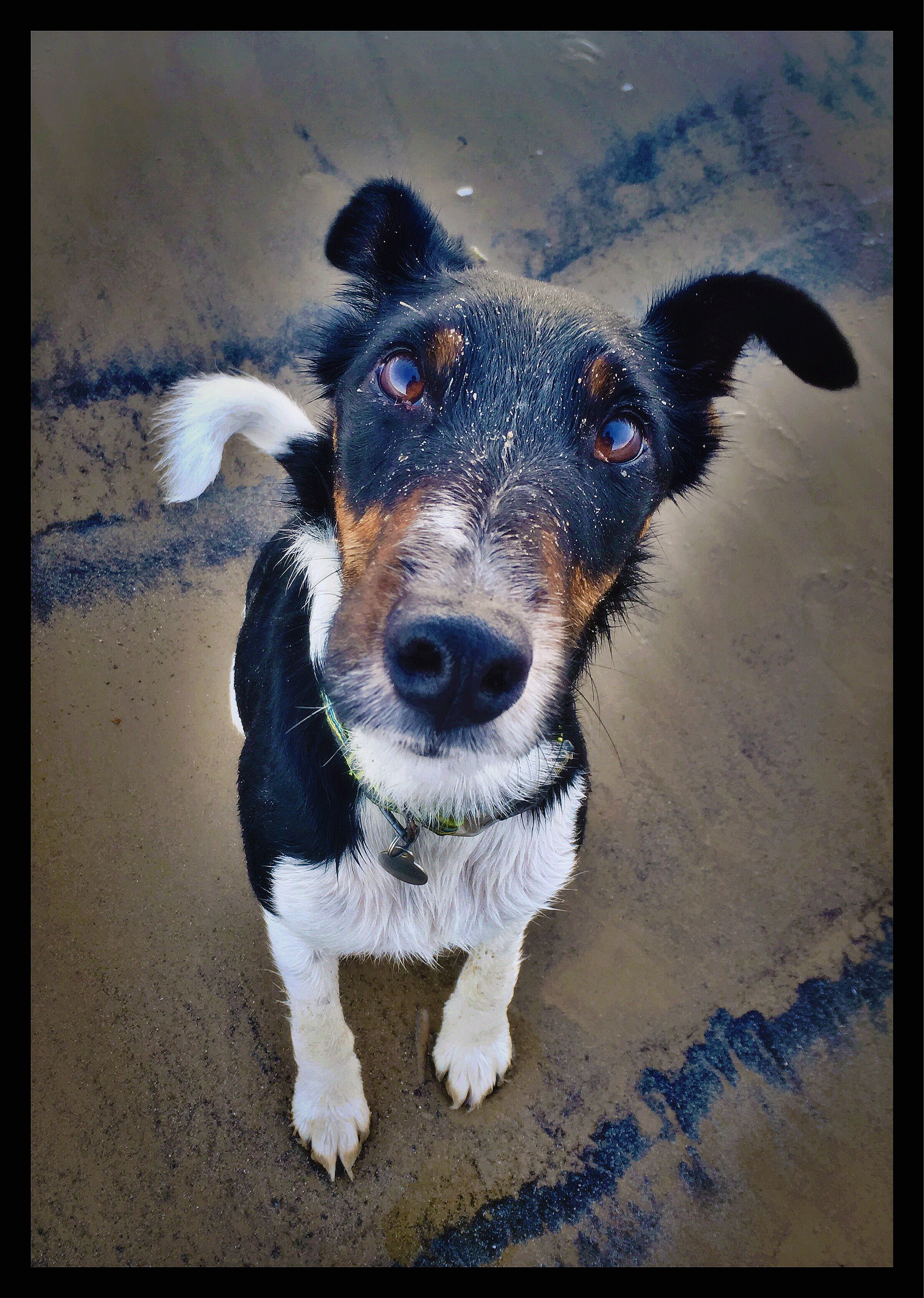 Henri Smooth Fox Terrier On Weymouth Dorset Smooth Fox Terriers