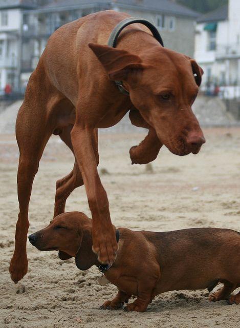 Dennis Jumps Over Romeo Vizsla Dogs Dog Life
