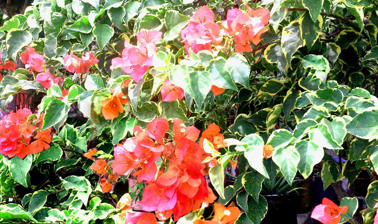 Bougainvillea Glabra Variegata Plants Bougainvillea Garden