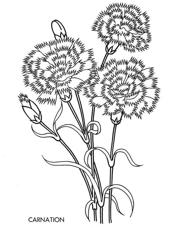 dianthus caryophyllus coloring pages - photo#16