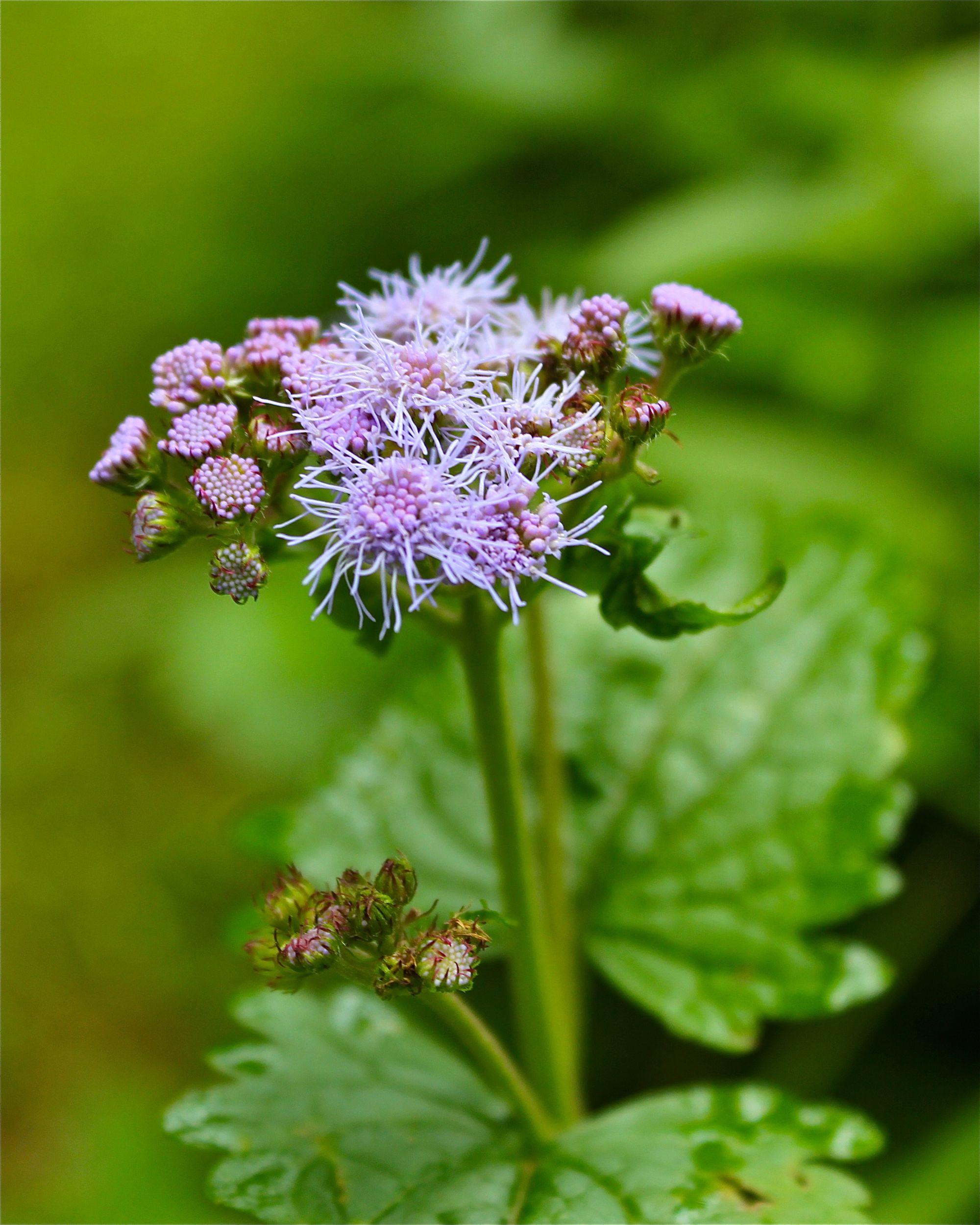 Blue Mist Flower Or Wild Ageratum Virginia Wildflowers In 2020 Wild Flowers Growing Gardens Plants