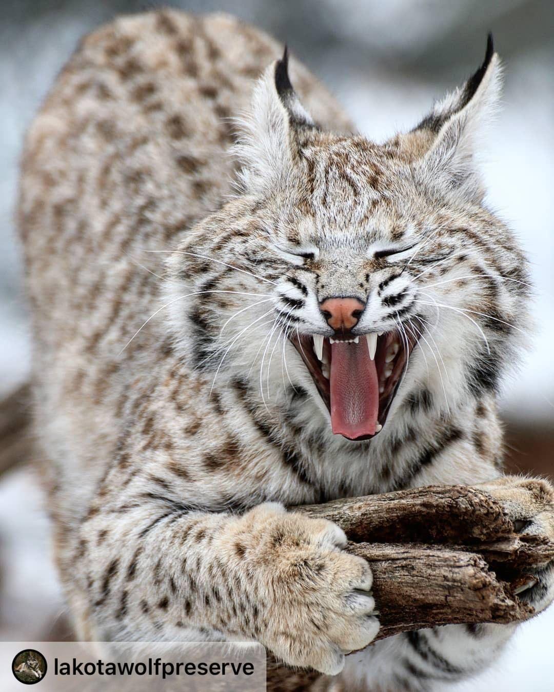 """on Instagram """"This beautiful bobcat kitten"""
