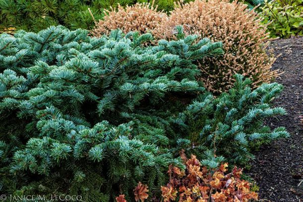 conifers, The Oregon Garden, Abies amabilis 'Spreading Star' by Janice LeCocq Photography