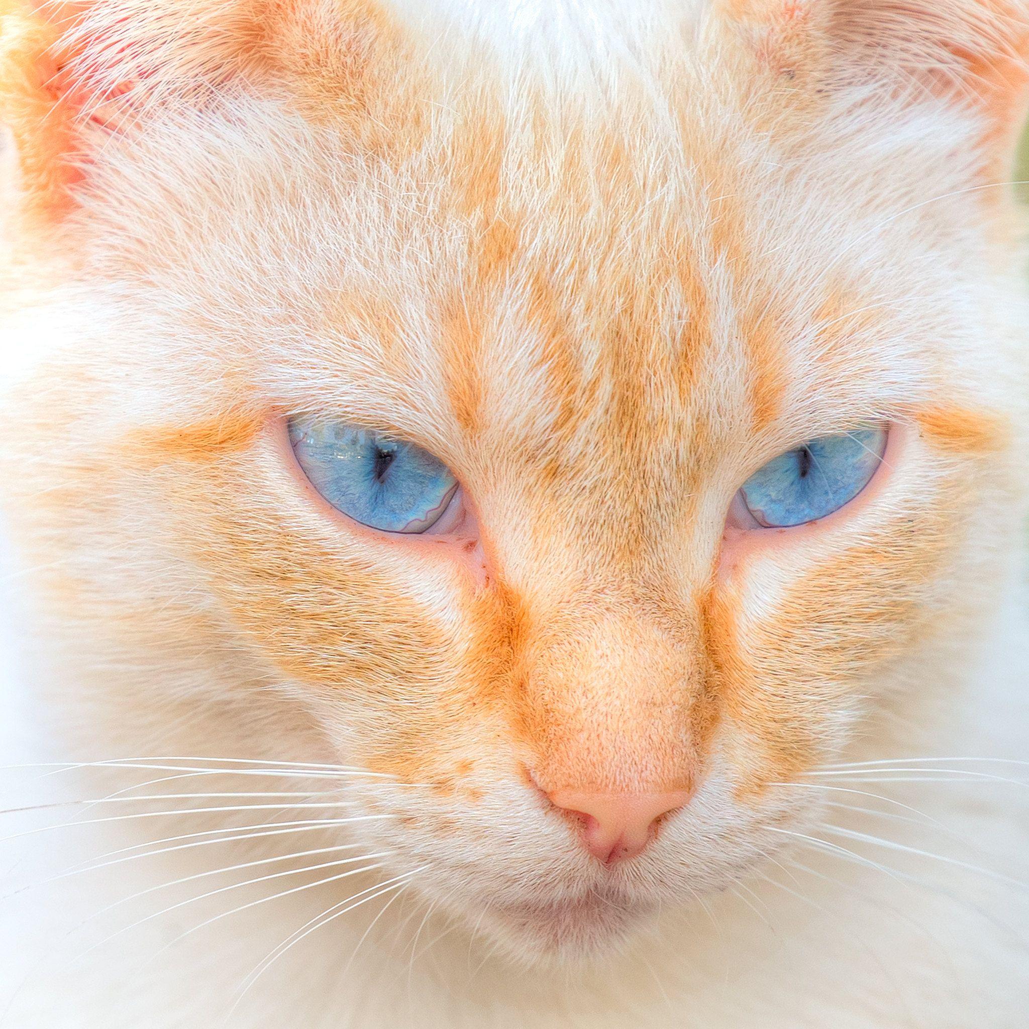 Bonnie Blue Eyes Cats Blue Eyes Bonnie