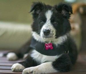 Border Collie Puppies For Sale In Michigan With Images Collie