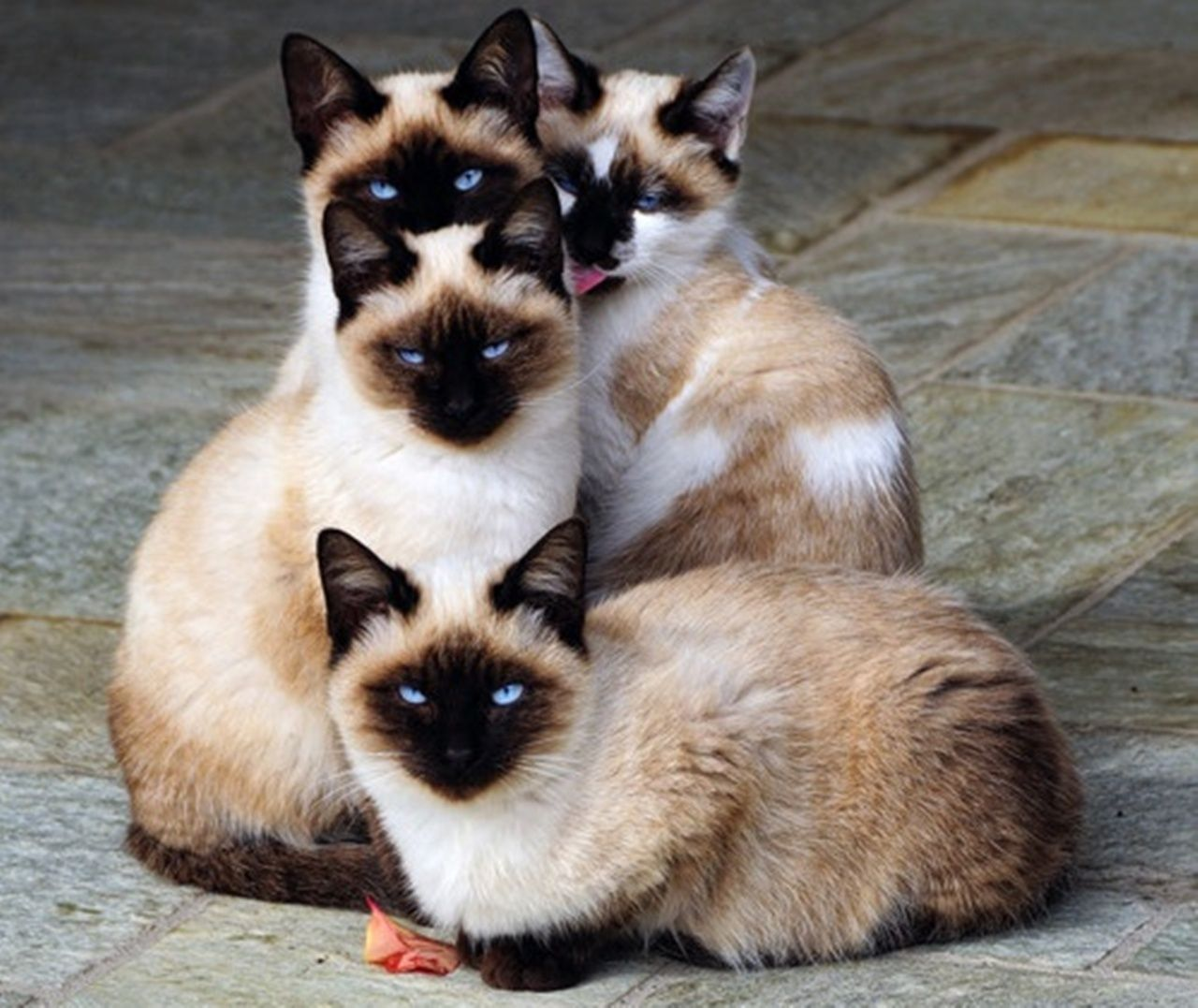 Image Result For Siamese Cat Family Photography