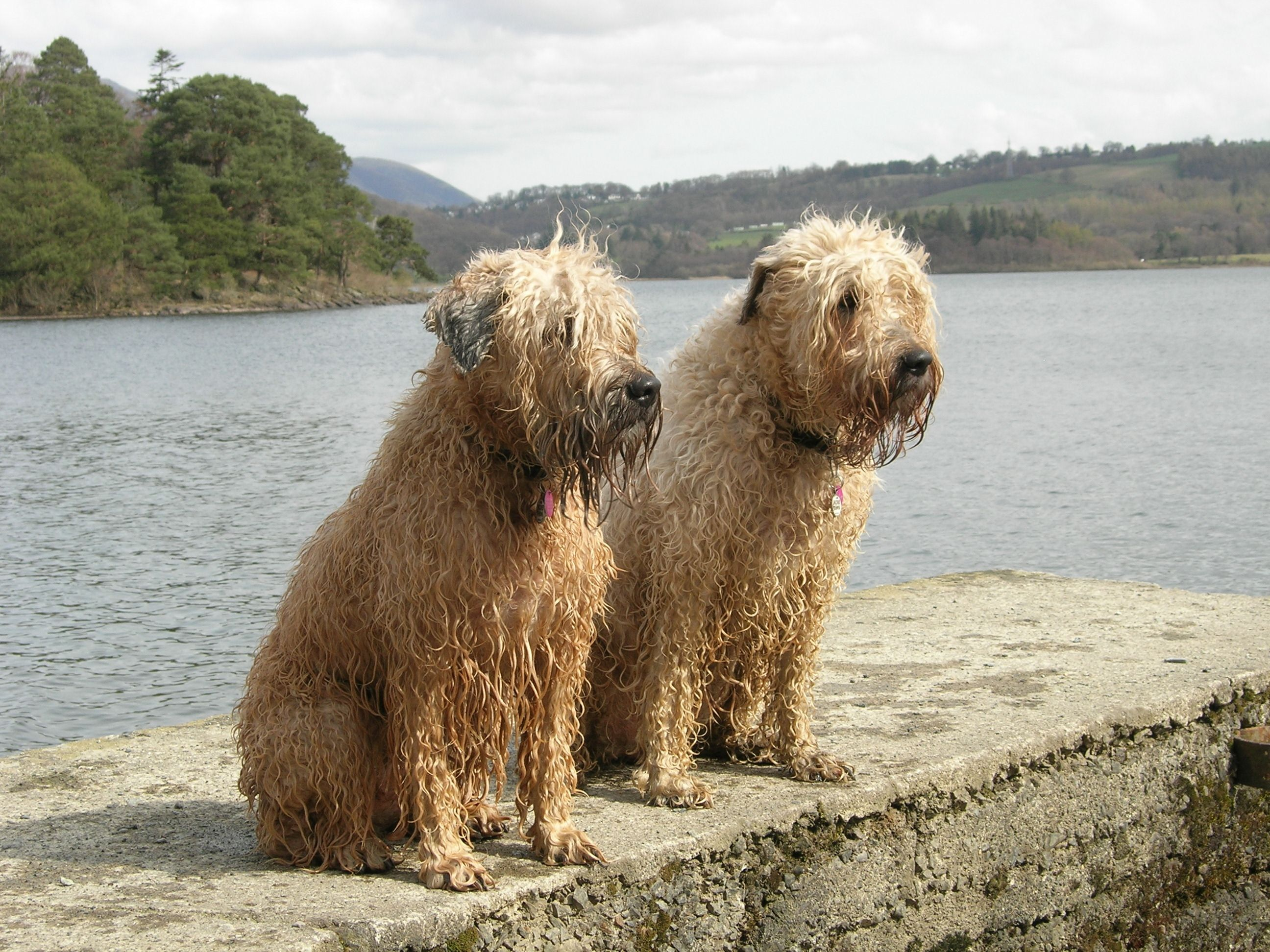 Pin By David White On Wheatens And Others Wheaten Terrier Soft Coated Wheaten Terrier Terrier