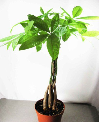 Money Tree. I want one... or three! 11 Detoxifying Plants ...