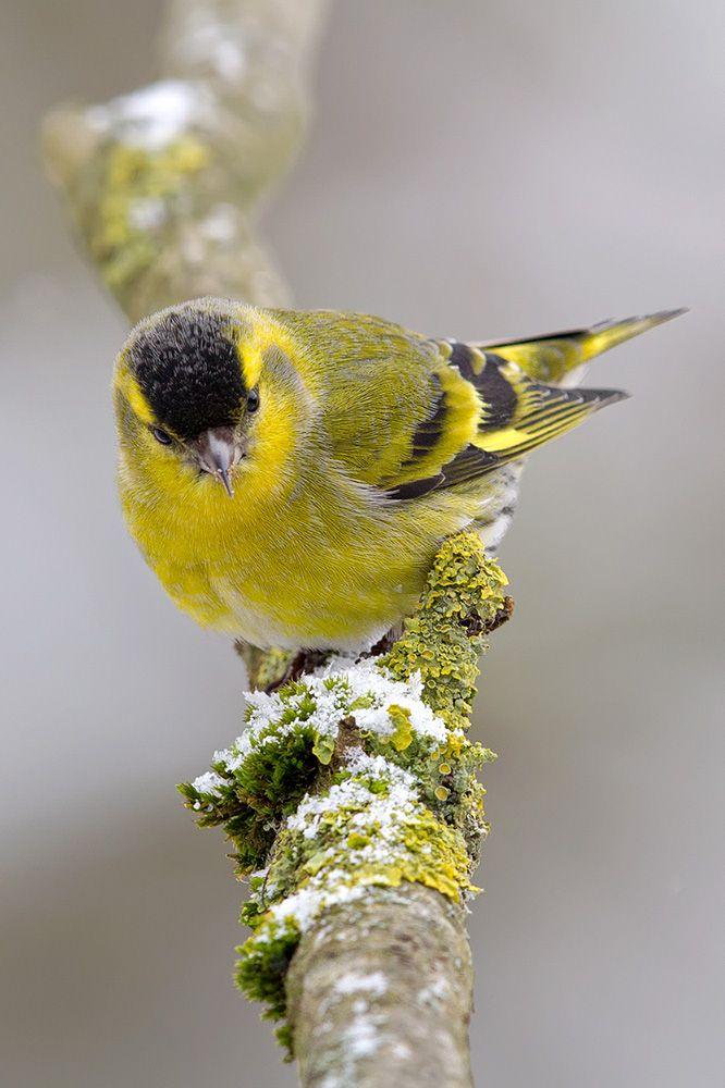 erlenzeisig mit bildern  zeisig erlenzeisig hübsche vögel