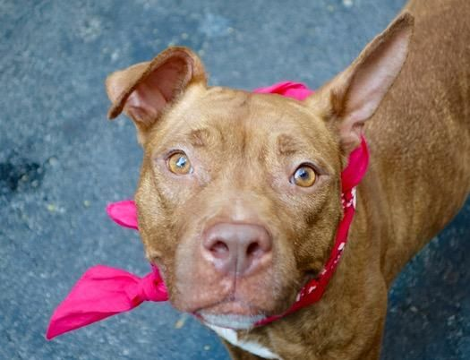 TRINITY A1044793 Help us Save NYC AC&C Shelter Dogs