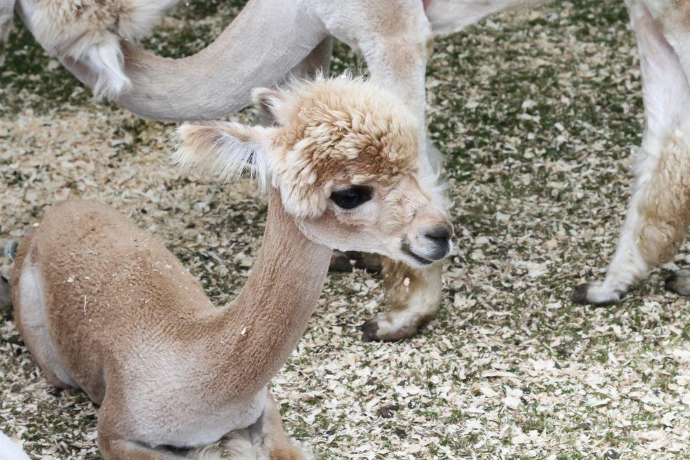 Facts About Alpacas Baby Alpaca Alpaca Cute Animals