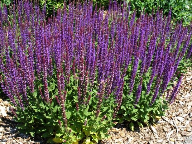 meadow sage salvia nemorosa 39 east friesland 39 hgtv gardens mediterranean herb flower garden. Black Bedroom Furniture Sets. Home Design Ideas