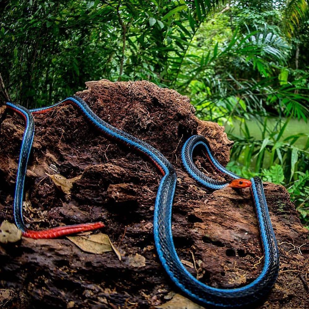 Amazing Pic Of A Blue Malasyan Coral Snake (Calliophis