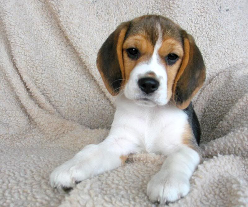 Pin By Marina Arnaut Peric On Wow Beagle Puppy Beagle Dog Dogs