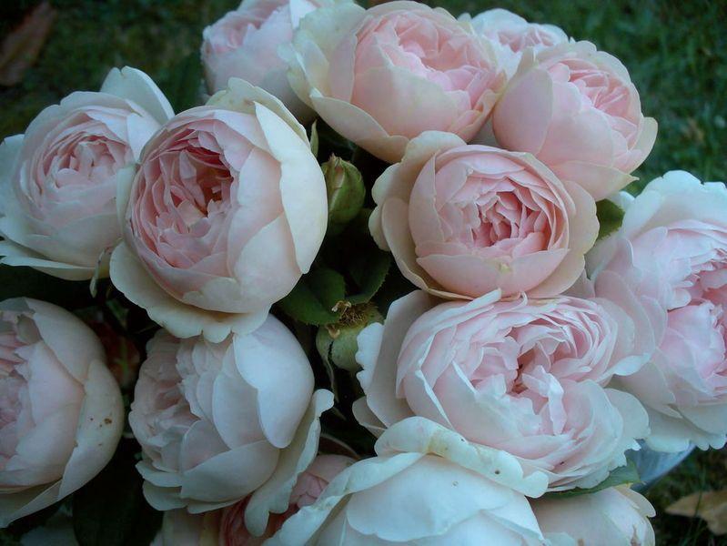 rosier floribunda vichy delbard
