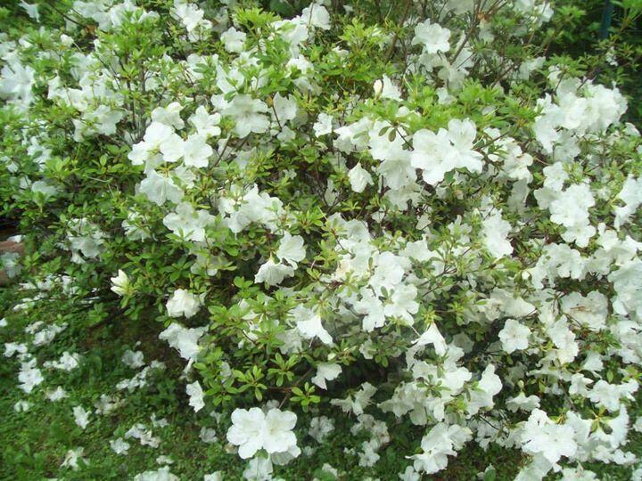 MY AZELA BUSH | Beautiful flowers, Backyard landscaping ...