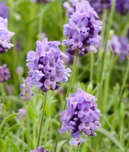 نبات بحرف ض مجموعة متنوعة ما بين النباتات العطرية والصحراوية بالصور إيمدج عرب In 2020 Lavender Plant Lavandula Growing Lavender