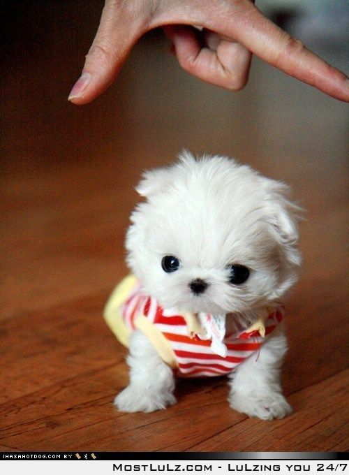 What Every Man Wants For Christmas Teacup Puppies Maltese Cute Puppy Pictures Mini Puppies