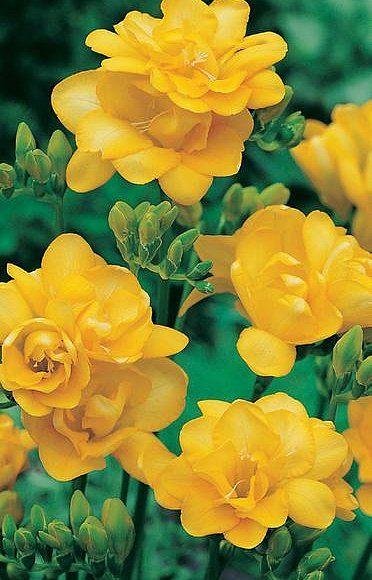 Double Yellow Freesia Pretty Flowers Amazing Flowers Beautiful Flowers