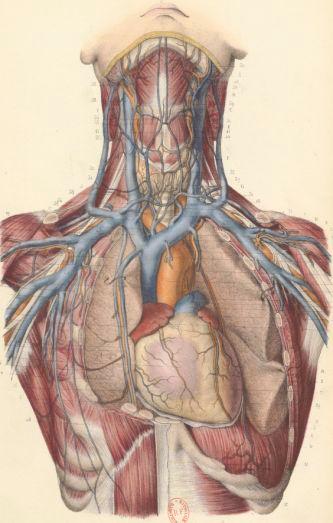 Atlas d'anatomie descriptive du corps humain. Partie 2 / par MM. les docteurs C. Bonamy,... Paul Broca,... et Émile Beau, dessinateur