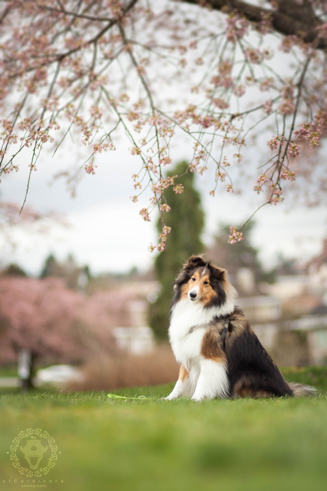 Https Www Tumblr Com Search Sheltie Recent Sheltie Dog Icon