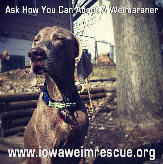 Saving and rehoming Weimaraners..... Dog love, Dogs