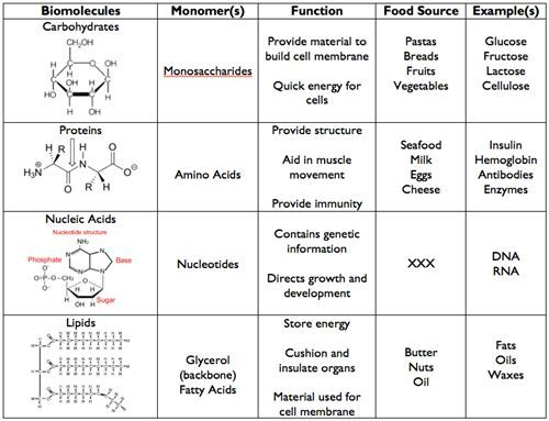 Macromolecules Graphic Organizer – Biomolecule Worksheet
