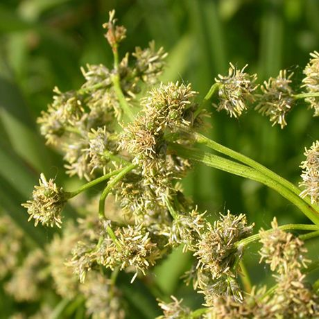 Panicled Bulrush Seeds Native Foods Healthy Plants