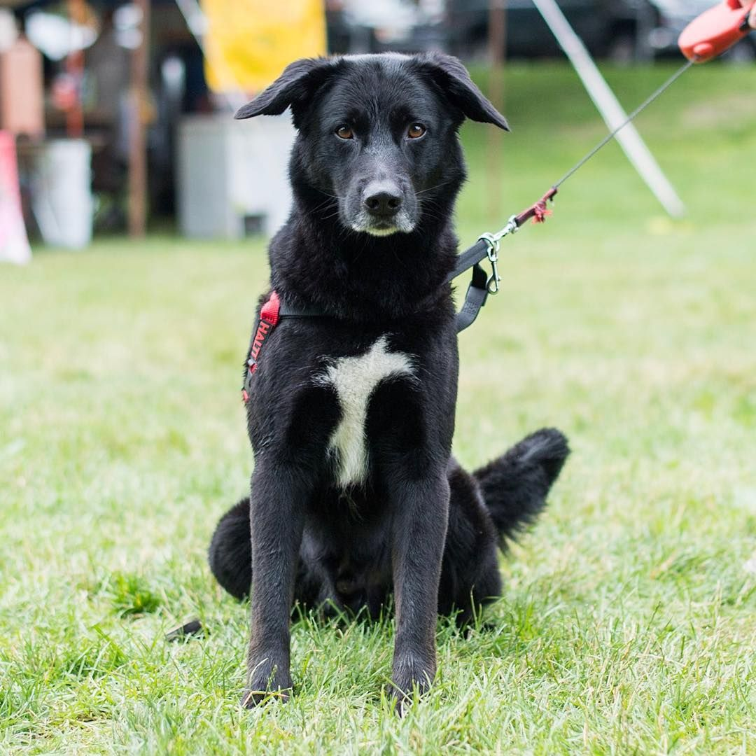 Rilo Portuguese Water Dog Labrador Retriever Mix 7 Y O Amherst