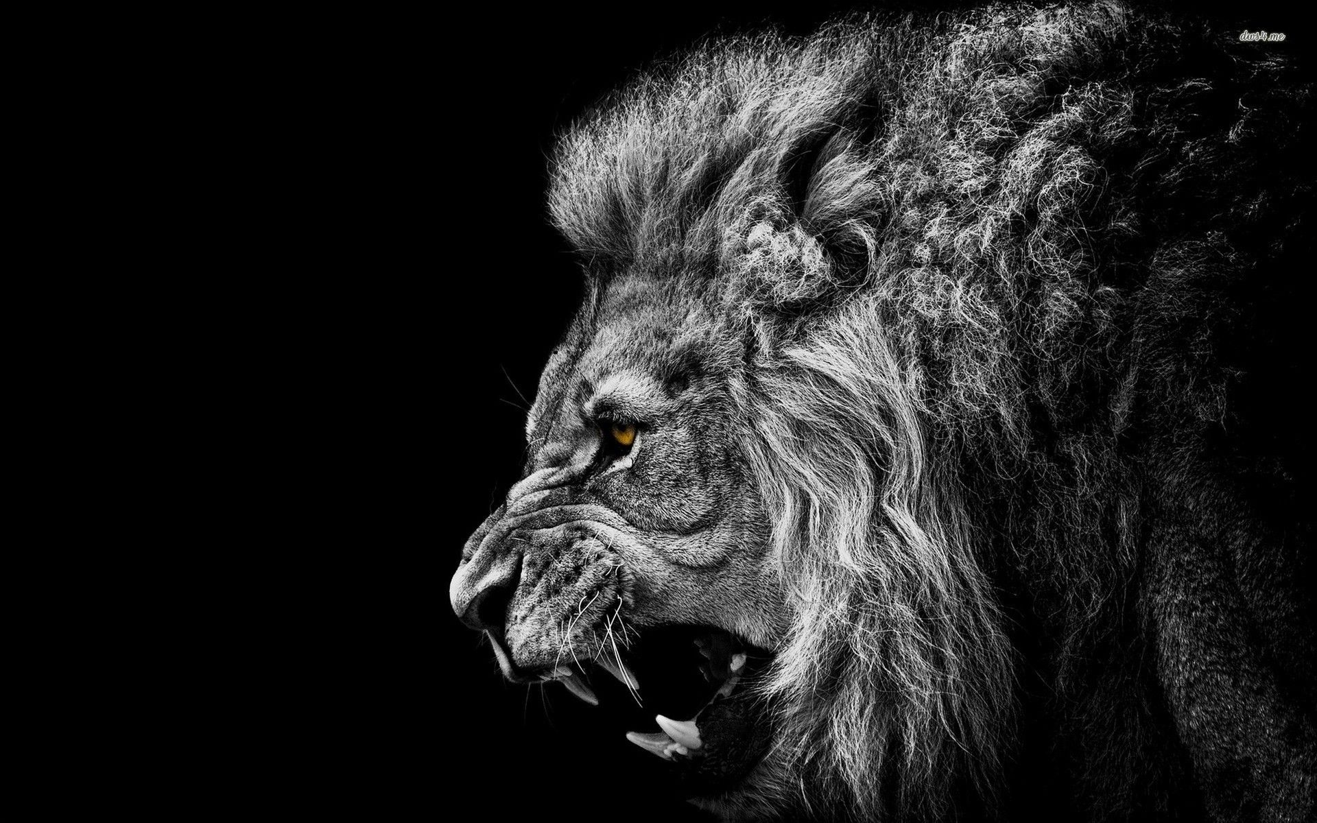 Awesome Black Wallpaper Lion Free
