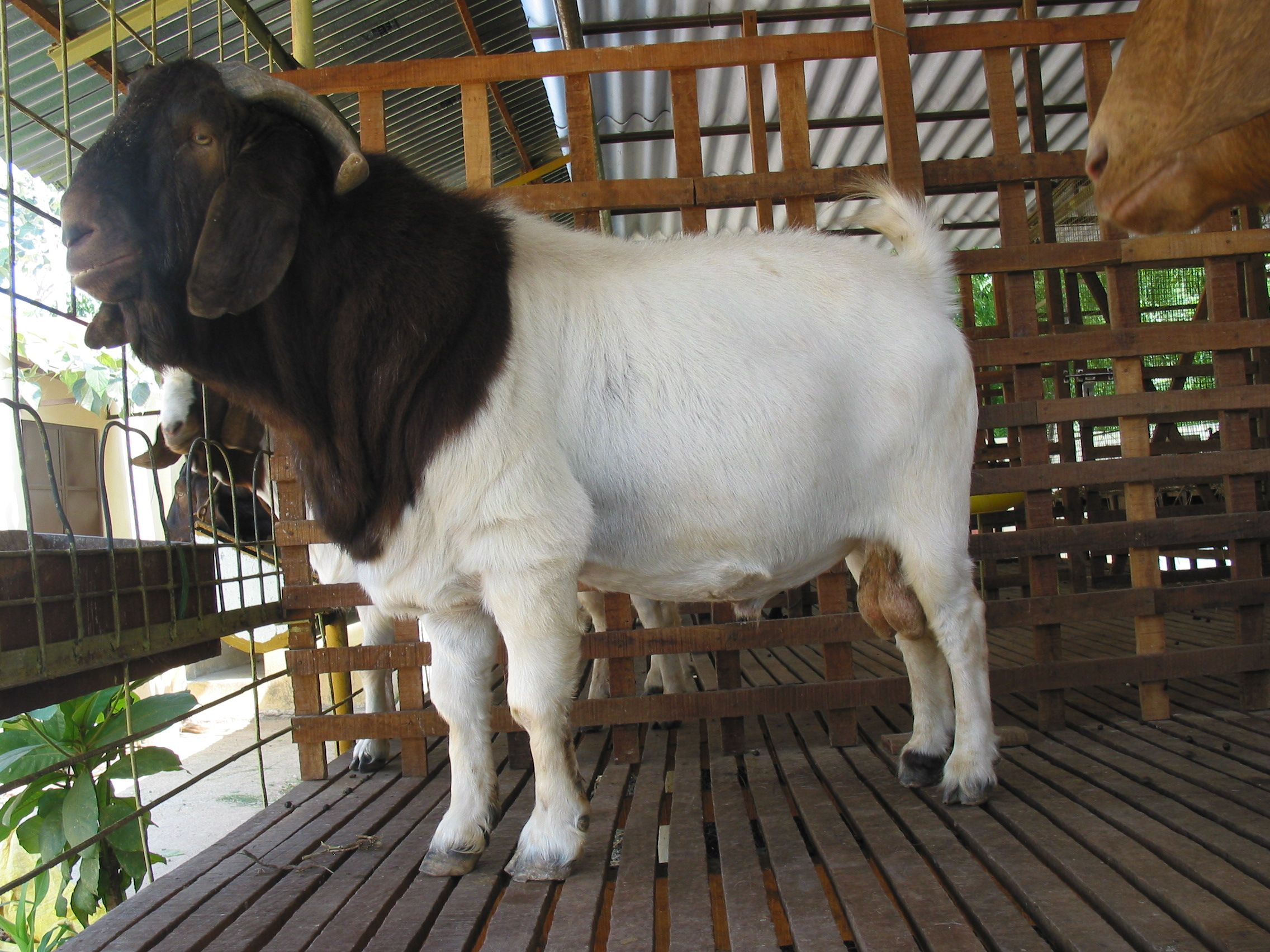 Meat Goat Breeds