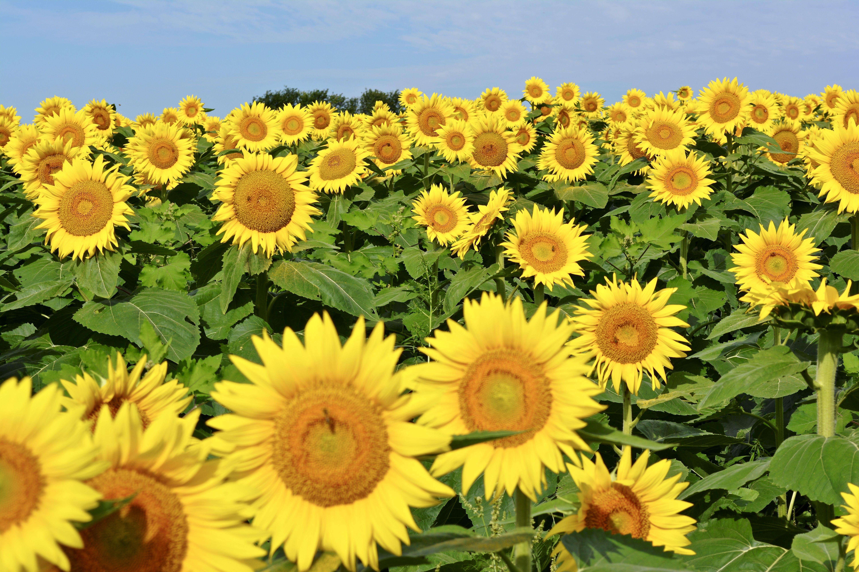Grinter farms lawrence ks a field of beautiful sunflowers grinter farms lawrence ks a field of beautiful sunflowers izmirmasajfo