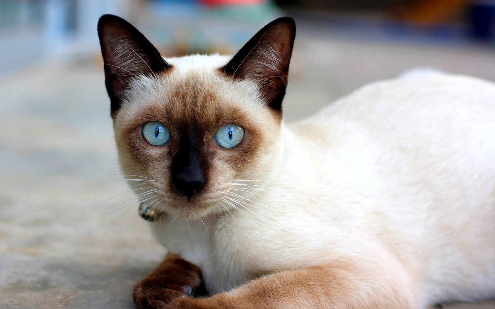 Cute Siamese Kitten Jpg Siamese Cat Wallpaper Siamese Cats Blue Point Cat With Blue Eyes Cats